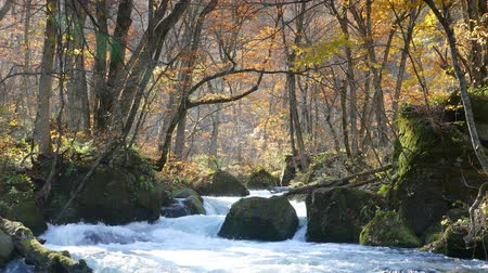 воды : Mysterious Oirase Stream flowing through the autumn forest in Towada Hachimantai National Park Стоковые видеозаписи