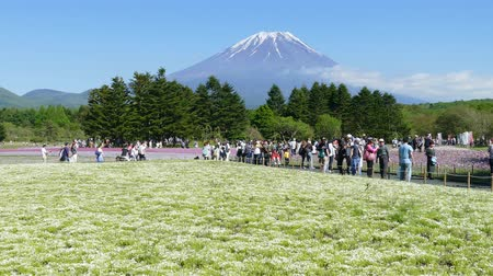 cereja : The Fuji with the field of pink moss at Shibazakura festival, Yamanashi, Japan