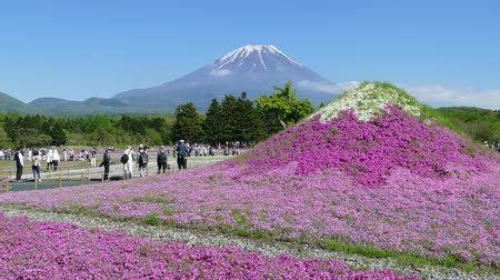 Японская культура : The Fuji with the field of pink moss at Shibazakura festival, Yamanashi, Japan