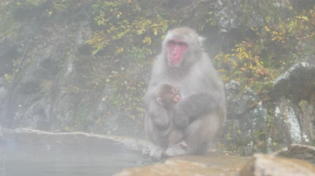 vahşi hayvan : Nature and wildlife concept - japanese macaque or snow monkey in hot spring of jigokudani park Stok Video