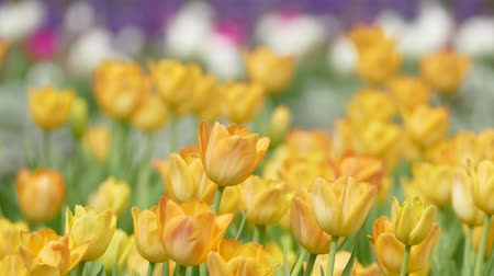 lentefeest : yellow tulips Stockvideo