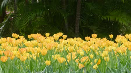 tulipan : yellow tulips Wideo