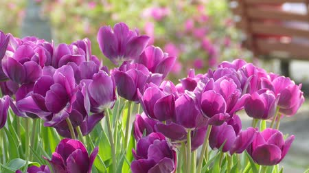 üdvözlet : purple tulips Stock mozgókép