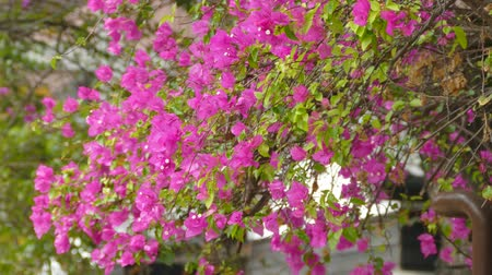 Paper flowers,pink and lime flowers in full bloom,Bougainvillea,Hairy bougainvillea Stock Footage