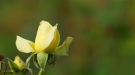 folyo : Beautiful rose flower in garden also with nice background color Stok Video