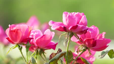 Beautiful rose flower in garden also with nice background color Stock Footage