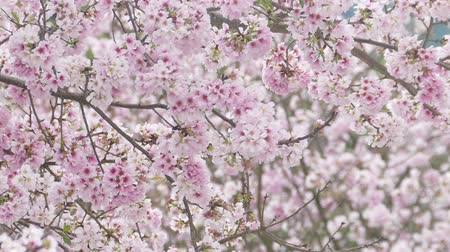 Sakura cherry blossom at Tianyuan temple Stock Footage