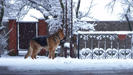 snoot : German shepherd dog playing with a toy rubber ball during the heavy snow, the beginning of winter