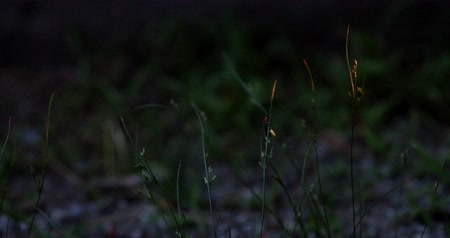 A firefly flies and sits on a blade of grass.
