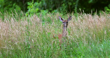 paroh : Portrait of a beautiful deer in a grass field.