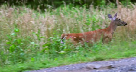 bionomics : Deer running across the road between the fields.
