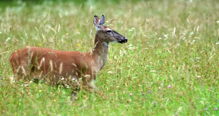 paroh : Portrait of a beautiful deer in a grass field. Deer is running.