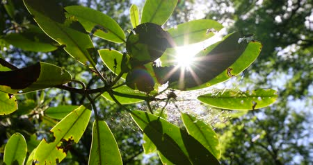 winogrona : rays of the summer sun shining through the green foliage of the trees Wideo