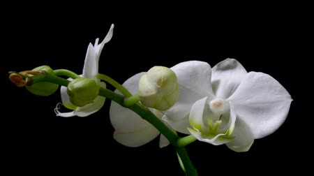 orkide : Orchid Timelapse Stok Video