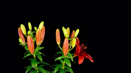 lilien : Lily Timelapse