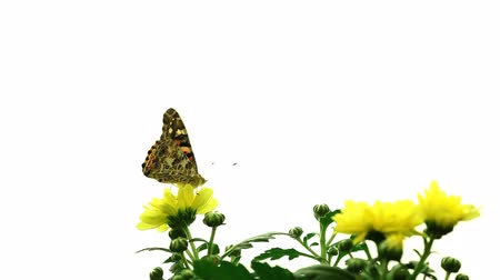 owady : Painted Lady Butterfly (Vanessa cardui)