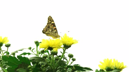 леди : Painted Lady Butterfly (Vanessa cardui)