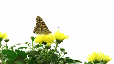 papillon : Painted Lady Butterfly (Vanessa cardui)