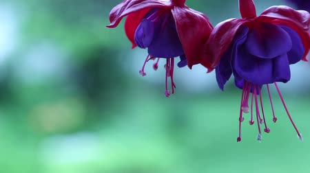 fuksja : Close-up of Fuchsia(Fuchsia sp.) flowers. Wideo