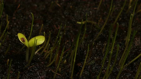 саженцы : Time-lapse of a zinnia seedling emerging.