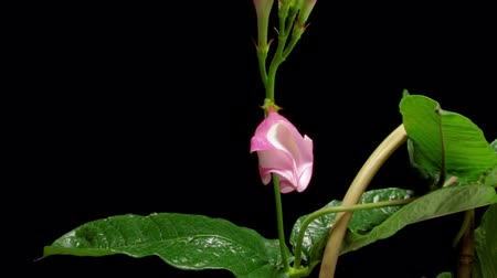 земледелие : Time-lapse of a pink mandevilla (Mandevilla sp.) flower blooming.