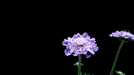vivo : Time-lapse of a pincushion (Scabiosa sp.) flower blooming.