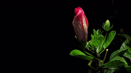 flower : Time-lapse of a hibiscus (Hibiscus sp.) flower blooming. Ultra HD.