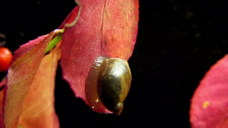 salyangoz : Garden snail close up. Time lapse.