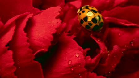 katicabogár : Ladybug on Red Carnation