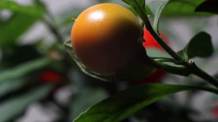 čas : Time-lapse of Jerusalem Cherry (Solanum pseudocapsicum)fruit  ripening. Poisonous houseplant. Dostupné videozáznamy