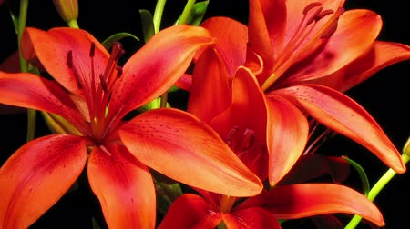 çiçekler : Time-lapse of red Asiatic lily flowers blooming.