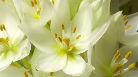 kapatmak : Time-lapse of white (Ornithogalum sp.) flowers blooming.