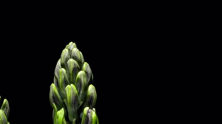 növekvő : Time-lapse of purple hyacinth flowers blooming.