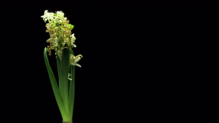 ölen : Time-lapse of white hyacinth flowers wilting. UHD.