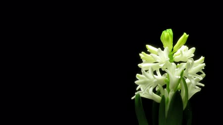 növekvő : Time-lapse of white hyacinth flowers blooming. Stock mozgókép