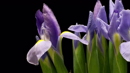 crescimento : Time-lapse of purple Iris flowers blooming. UHD.