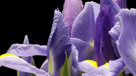 irys : Time-lapse of purple Iris flowers blooming.