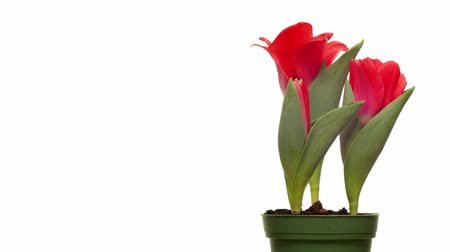 tulipany : Time-lapse of red tulip flowers blooming. Wideo