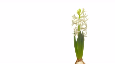 blooms : Time-lapse of white hyacinth flowers blooming. Stock Footage