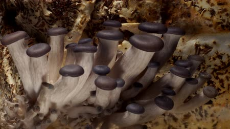 cogumelos : Time-lapse of oyster mushrooms(Pleurotus ostreatus) fruiting.