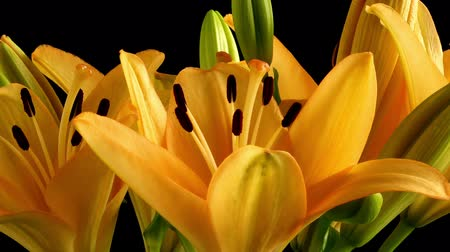 orange : Time-lapse of Asiatic lily flowers blooming.