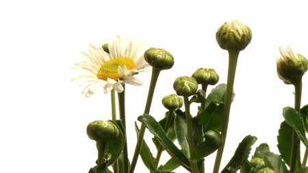 margarida : Time-lapse of daisy flowers blooming. Vídeos