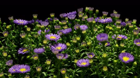 zmiany : Time-lapse of purple Aster flowers blooming.