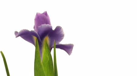 irys : Time-lapse of Iris flowers blooming. Wideo