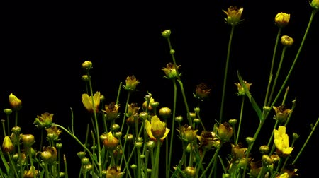 crescimento : Time-lapse of yellow Coreopsis flowers blooming.