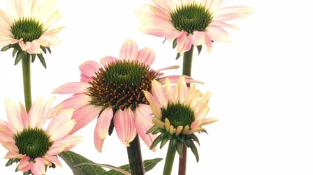 vivo : Time-lapse of cone flowers (Echinacea purpurea) blooming. Studio shot over white. Stock Footage
