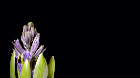 sümbül : Time-lapse of hyacinth flowers blooming. Studio shot over black. Stok Video