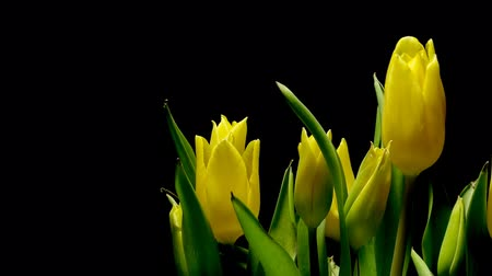tulipany : Time-lapse of tulip flowers blooming. Studio shot over black. Wideo
