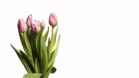 haladás : Time-lapse of purple tulips(Tulipa sp.) blooming. Studio shot over white.