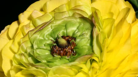 Time-lapse of yellow Ranunculus(Ranunculus sp.) flowers blooming. Studio shot over black. Wideo